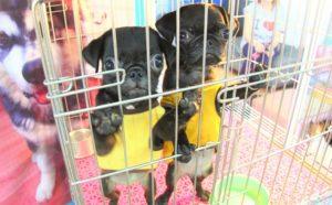 バンコクのチャトゥチャック市場では子犬も安い|タイお勧め観光スポット