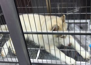 バンコクのチャトゥチャック市場で売られていた子犬 タイお勧め観光スポット