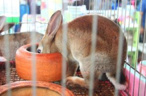 バンコクのチャトゥチャック市場のウサギ